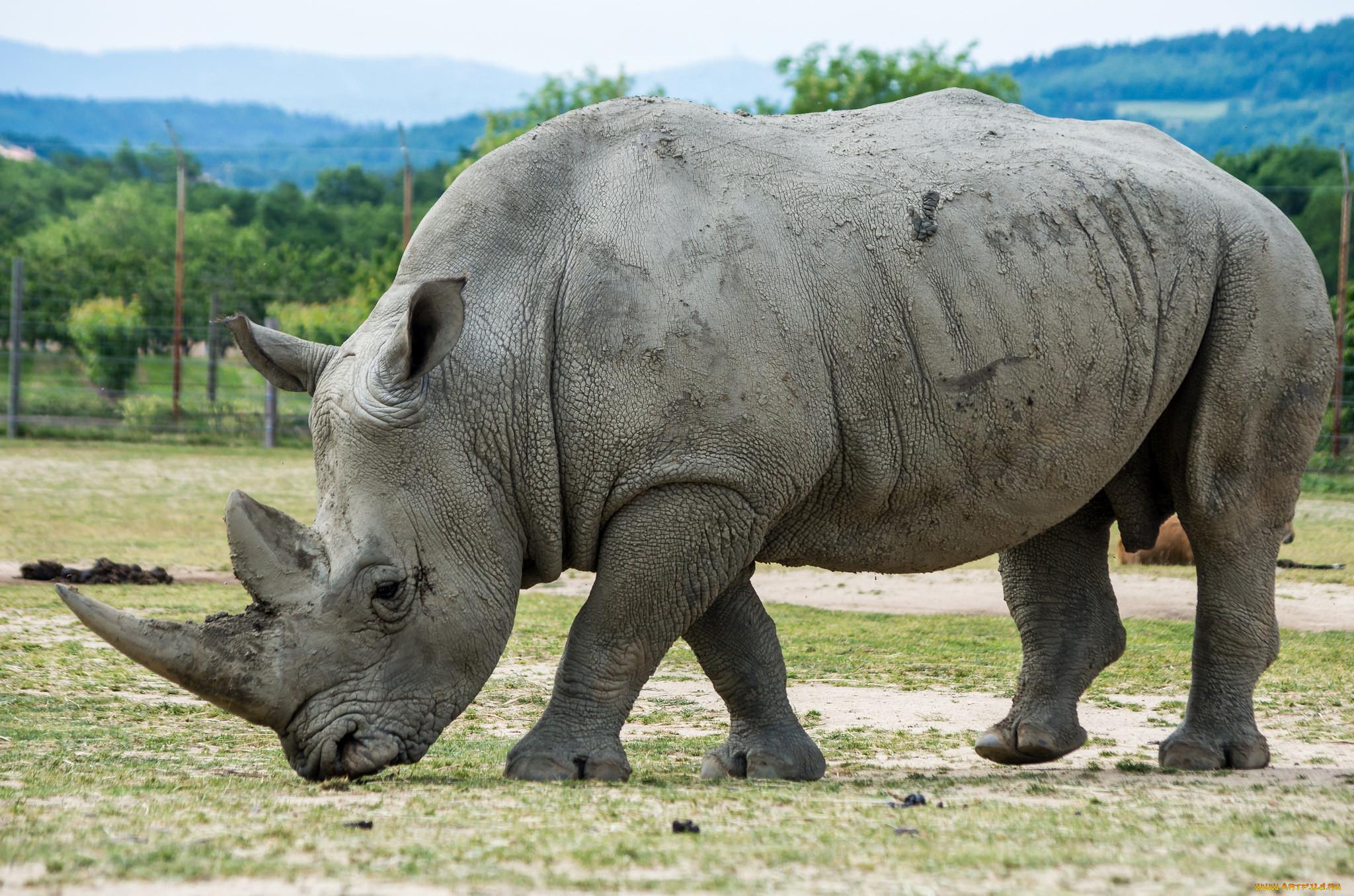Обои носороги. Животные foto 12